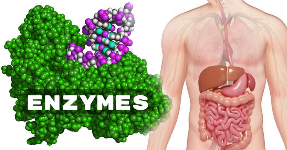 Enzymes (เอ็นไซม์)