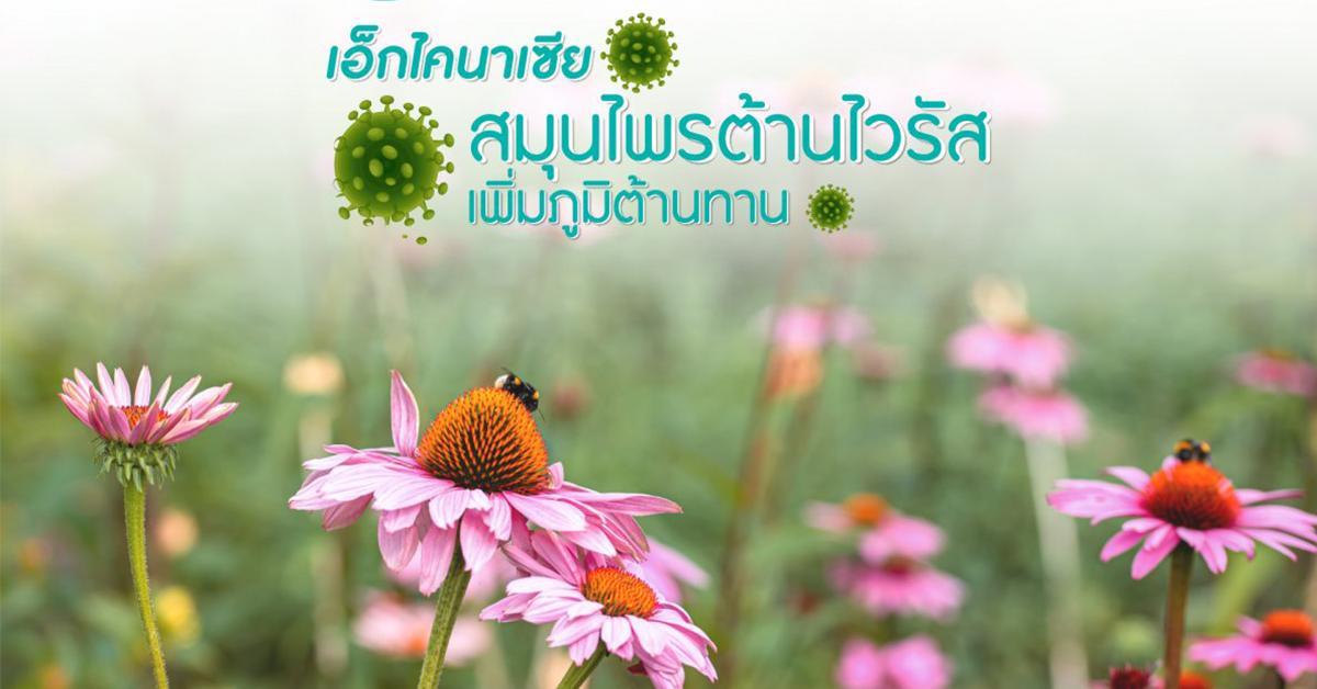 Echinesia (สารสกัดเอคไคเนเชีย)