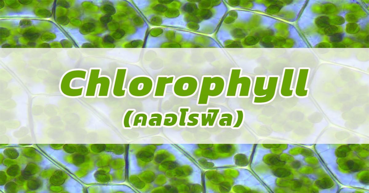 Chlorophyll (คลอโรฟิล)