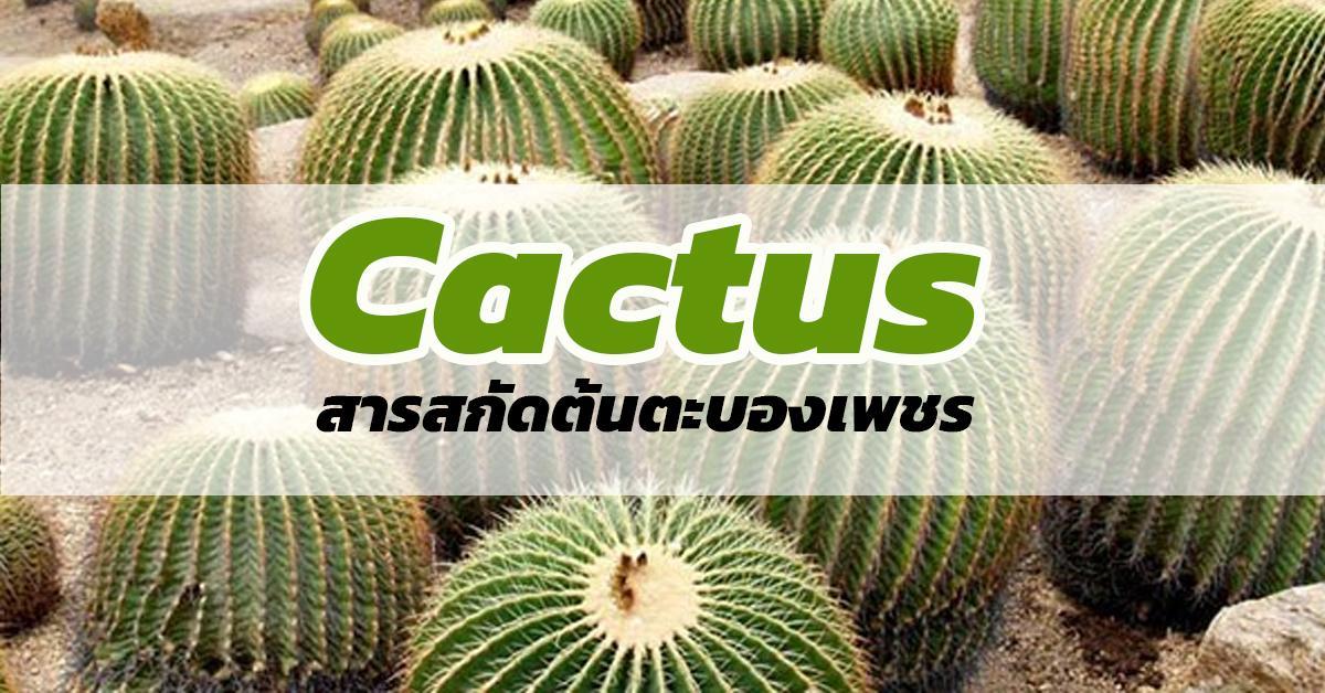 Cactus (สารสกัดต้นตะบองเพชร)