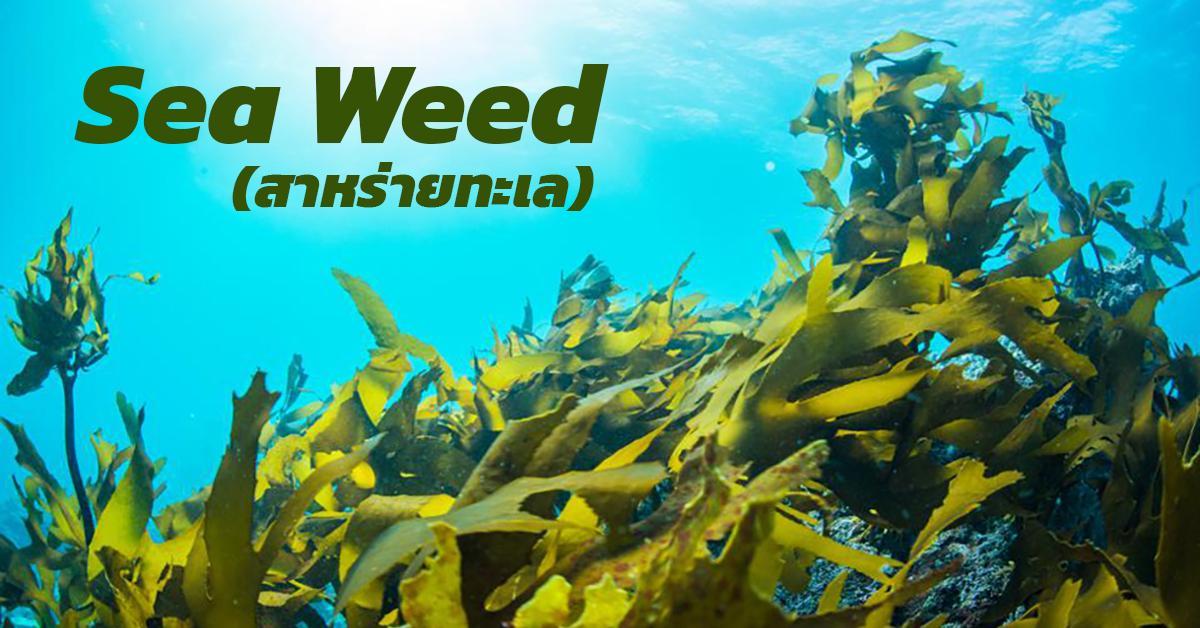 Sea Weed (สาหร่ายทะเล)